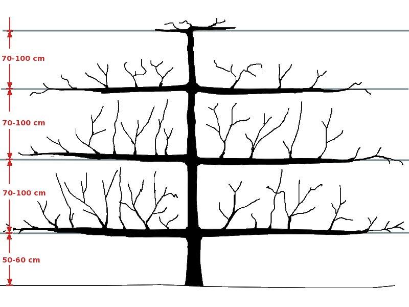 hoe fruitbomen snoeien