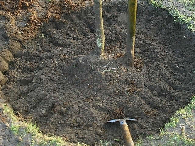 Zet een boom nooit te diep de kluit geeft precies aan hoe diep de boom heeft gestaan en bij - Hoe een boom te verlichten ...