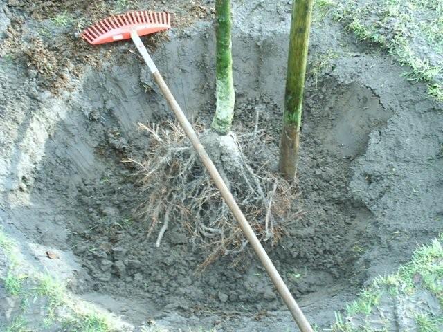 Even diep zoals de kwekerij - Hoe een boom te verlichten ...